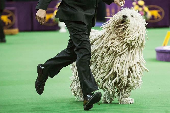 Комондор на выставке Westminster Kennel Club Dog Show
