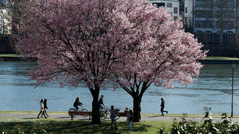 Во время сезона цветения сакуры во Франкфурте, Германия, март 2020 года
