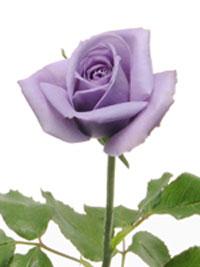 """Компания Suntory сумела создать первый в мире  """"истинный """" синий цвет в розах."""
