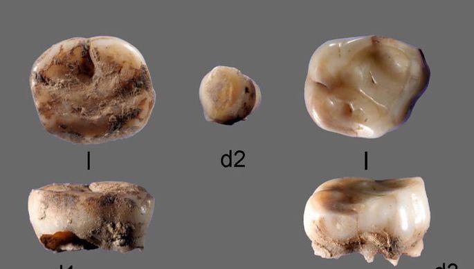 Молочный зуб показал, как первые люди расселялись в Восточно-Сибирской Арктике