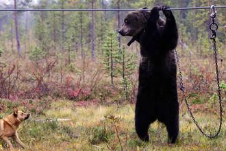 Притравка охотничьих собак по подсадному медведю в Мурманской области, 2015 год