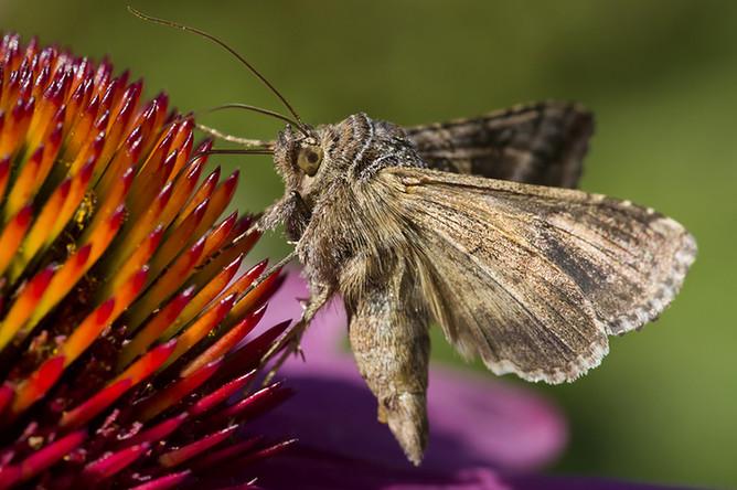 Совка-гамма — именно этот вид бабочек «атаковал» финал ЧЕ-2016