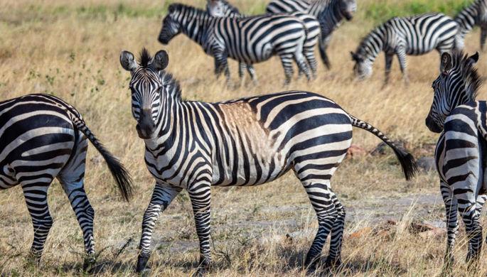 Жертвы вырождения: разгадан секрет «золотых» зебр