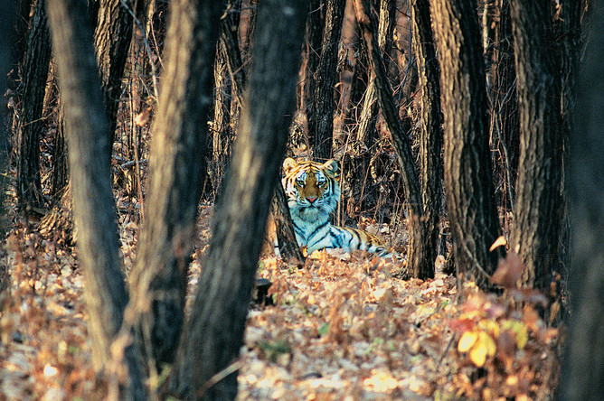 На Дальнем Востоке от кедрово-широколиственных лесов зависит жизнь амурского тигра. Только в этих лесах хватает кормовой базы для поддержания достаточной численности копытных, которыми питается этот крупный хищник.