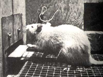 Стимулирующая себя крыса
