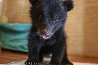 Двухмесячный медвежонок бурого медведя в квартире Ольги Щетининой в Благовещенске