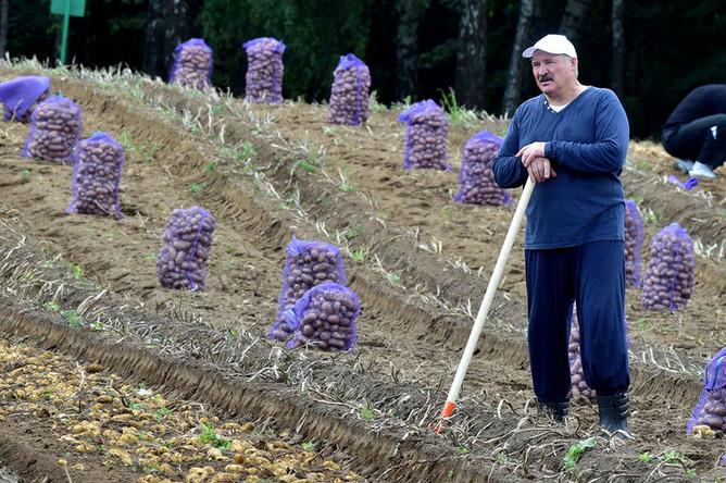 Президент Белоруссии Александр Лукашенко во время сбора урожая картофеля на своем участке, 2017 год