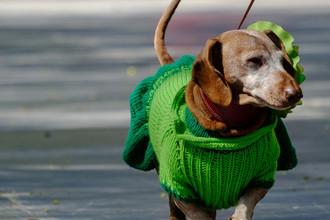 Собака породы такса на «Такс-параде», посвященном Дню города, на Васильевском острове в саду Академии художеств в Санкт-Петербурге