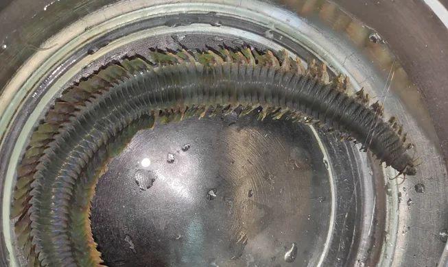 Эмбриологи раскрыли секрет червя со сверхспособностью к регенерации