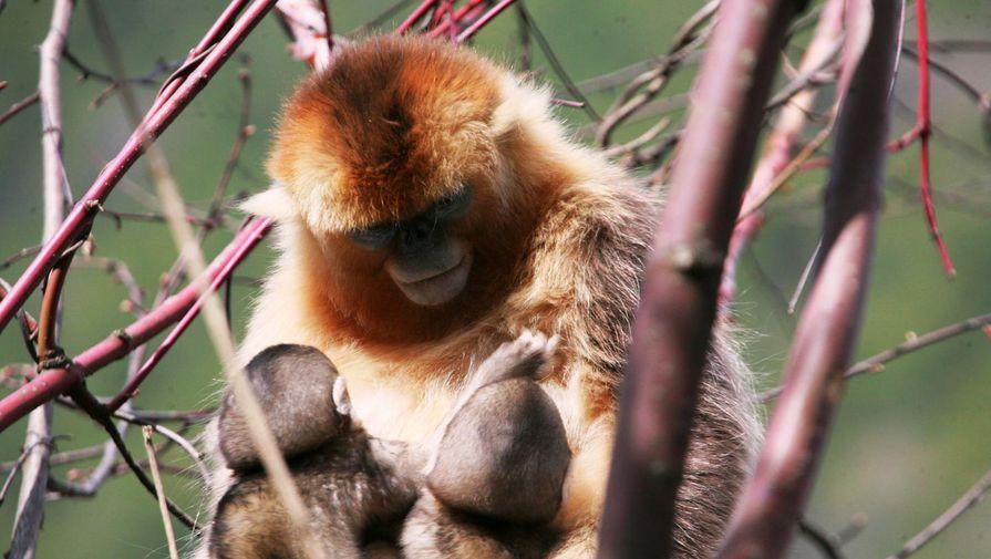 Впервые найдены обезьяны, кормящие грудью чужих детенышей