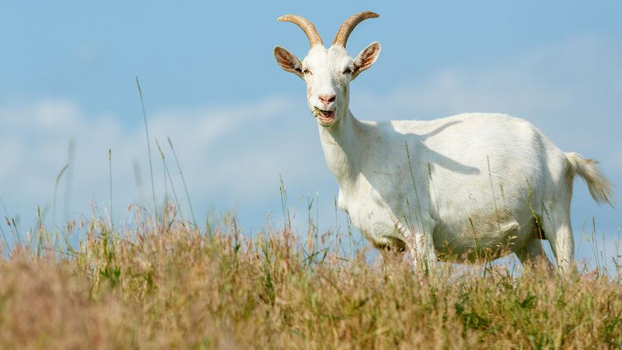 Ученые: козы различают эмоции в блеянье друг друга