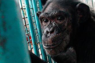 Шимпанзе Джина
