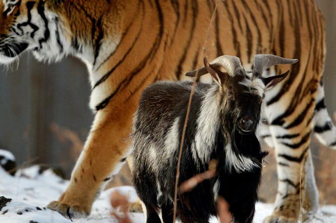 Уссурийский тигр по кличке Амур и козел по кличке Тимур в вольере Приморского сафари-парка. Круглый год тигров кормят живой добычей, но козла Тимура тигр Амур есть не стал, 2015 год