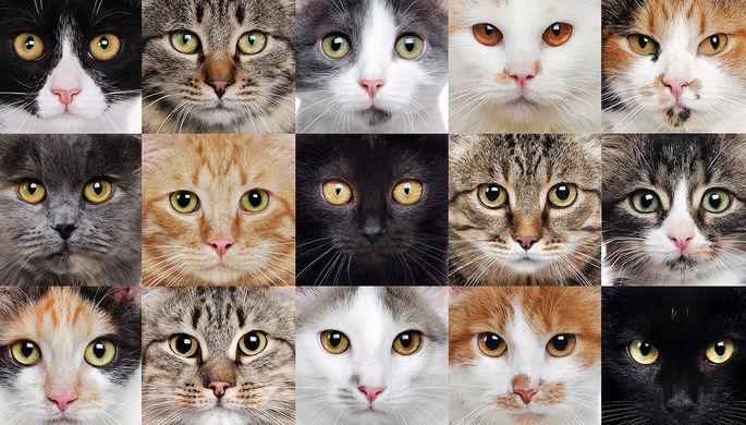 «Что большое, то и красивое»: каких котов выбирает Россия