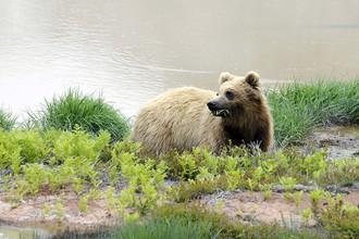 Медведь в долине гейзеров в Кроноцком заповеднике