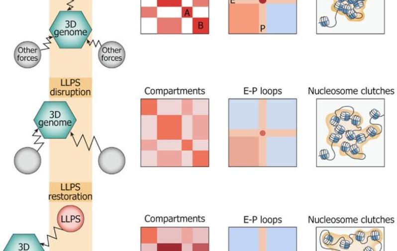 Схема, обобщающая все полученные результаты: обработка 1,6-гександиолом разрушает LLPS и, следовательно, исходную структуру хроматина. После «восстановления» в среде без этого соединения, геном не возвращается в исходную форму, но приобретает некую новую