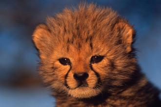 Детеныши гепардов маленькие и беззащитные. Они легкая добыча для хищников, в том числе орлов. Но зато они могут прятаться в траве. Мать находит котят по кисточке на хвосте, которая торчит из травы. Впрочем, к трем месяцам эта отметина исчезает. Маленькие гепарды живут с мамой до полутора лет. Они играют со своими братьями и сестрами и учатся охотиться, глядя на маму. У гепардов слабые челюсти и маленькие зубы, поэтому самке сложно защищать своих детенышей от львов, гиен и хищных птиц. В некоторых диких популяциях гепарда только 5% детенышей доживают до взрослого возраста. Даже после ухода от мамы подросшие котята продолжают дружить со своими братьями и сестрами. Братья-гепарды могут жить бок о бок многие годы