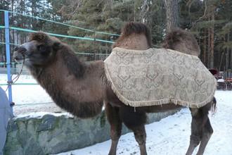 Двугорбый верблюд Барсик провезет огонь Олимпиады по Челябинску