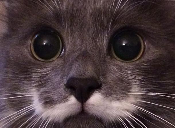 Необычный окрас в виде усов в стиле хендлбар стал отличительной чертой этого кота. Такие усы носил сам Эркюль Пуаро (500 тыс. подписчиков)