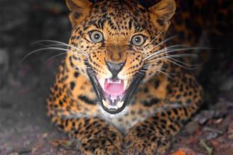 Дальневосточный леопард, который также известен как амурский барс, — единственный вид леопардов, который научился жить в снегах. У каждой из этих красивых кошек свой уникальный, неповторимый рисунок из пятен. К сожалению, животное находится на грани исчезновения, во всем мире осталось всего около 40 особей этого представителеля кошачьих. В России он обитает на небольшой части юга Дальнего Востока