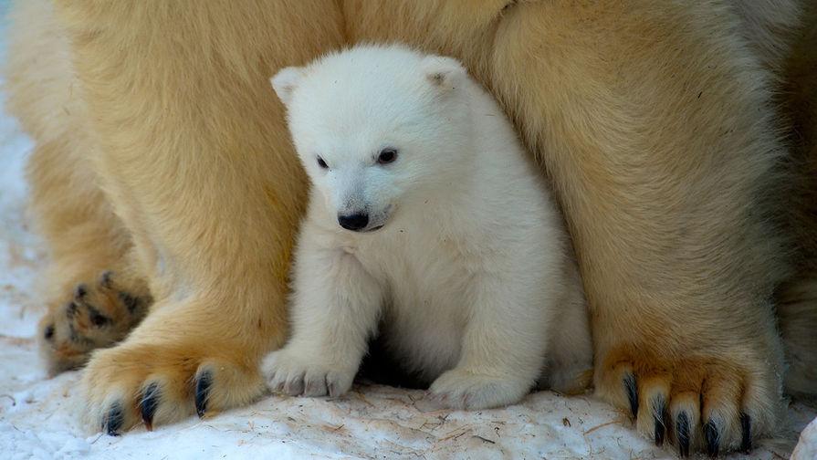Белый медвежонок со своей мамой Гердой