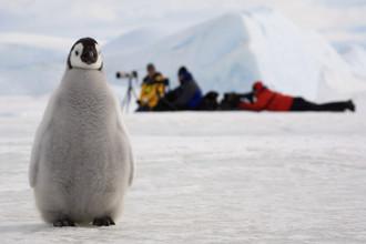 Пингвинята вынуждены трое суток стучать изнутри по скорлупке яйца, чтобы пробить себе путь наружу. Все это время рядом с ними находятся их отцы — матери плавают в море, стараясь добыть пищу. Первые несколько недель мать кормит малыша полупереваренной пищей. А затем пингвинята собираются в «детские сады», где стоят, плотно прижавшись на холодном ветру: в Антарктиде зимой температура достигает минус 60 градусов. Родители ждут, когда у малышей пух сменится перьями — тогда они могут отправляться в сое первое плавание