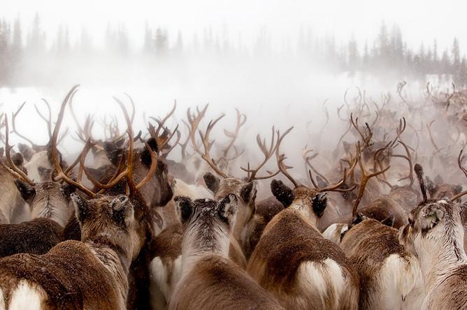 Олени в горах Швеции