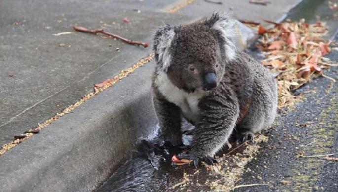 Коала пьет из лужи у автомобильной дороги в Австралии