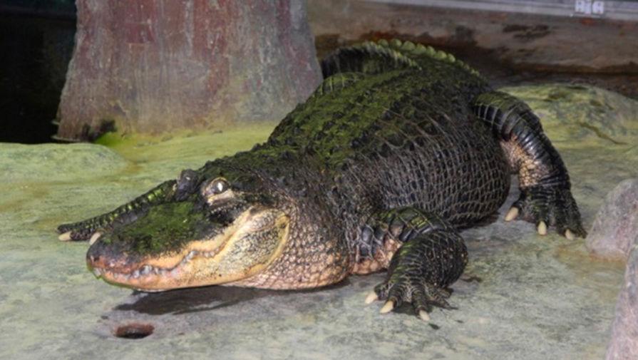 Крокодил Сатурн в Московском зоопарке