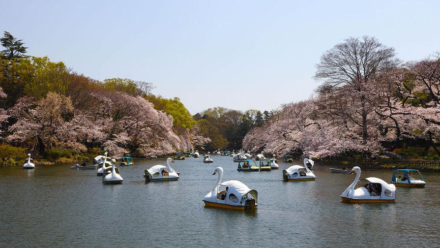 Цветение сакуры в парке Инокасира в Токио, март 2021 года