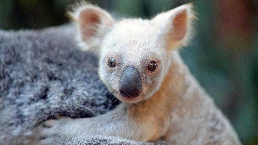 Смерть коалы дала ученым разгадку спасения всей популяции от вымирания
