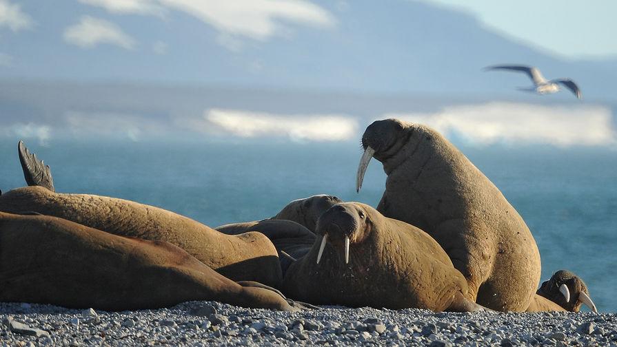 Лежбище моржей в нацпарке на Оранских островах архипелага Новая Земля, 2012 год