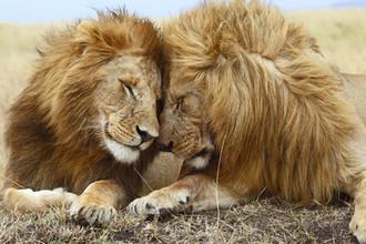 Крабы, львы и коровы: как появилась гомосексуальность