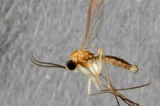 Комар <i>Ctenosciara alexanderkoenigi</i>