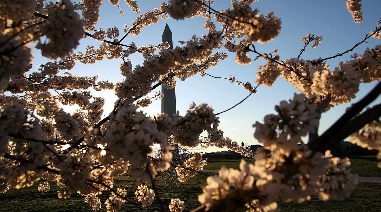 Цветение сакуры в Вашингтоне, март 2021 года