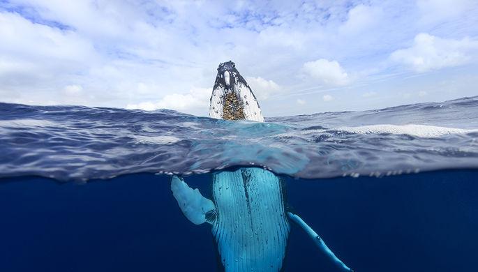 Горбатый кит в Полинезии
