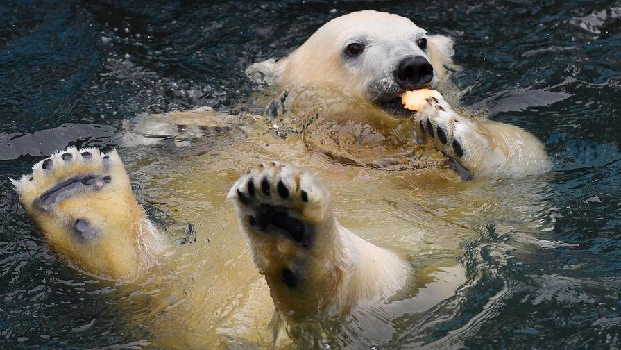 Белый медведь. Самый крупный вид рода с массой тела до 800 кг. Единственный вид сухопутных млекопитающих, полностью перешедший от жизни на земной тверди к жизни на дрейфующих морских льдах Арктического океанского бассейна.