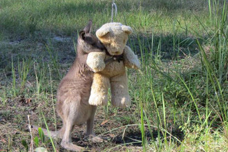 14. Осиротевший малыш кенгуру, который очень любит своего мишку