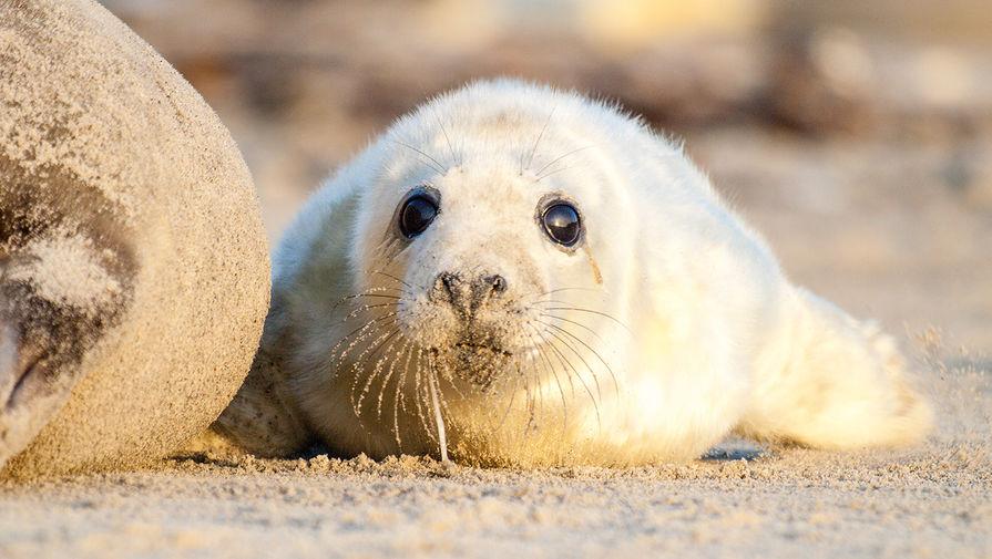Детеныша серого тюленя спасли в Петербурге
