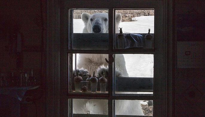 Названа причина нашествия медведей на Новой Земле