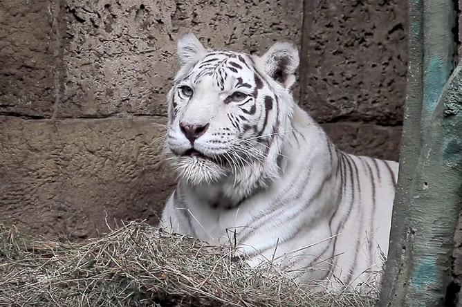 Тигрица Кали в Московском зоопарке, 2016 год