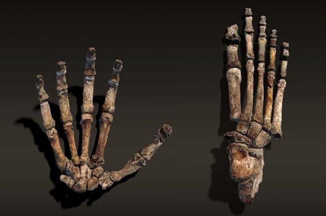 Кости ладони и ступни Homo naledi