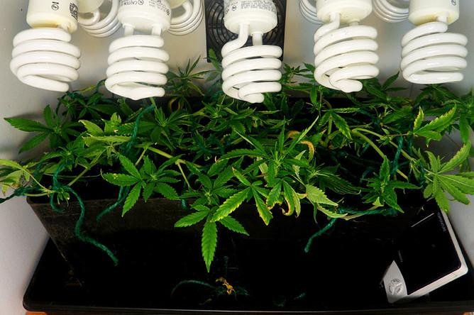 Наркополицейских подозревают в выращивании конопли у себя дома