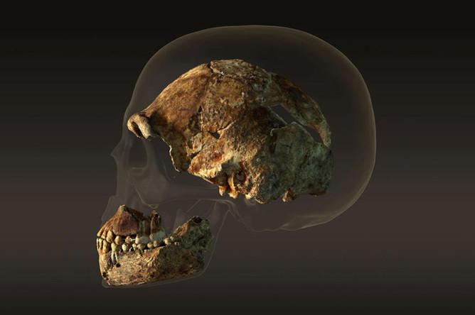 Сравнение размеров черепов Homo naledi и современного человека