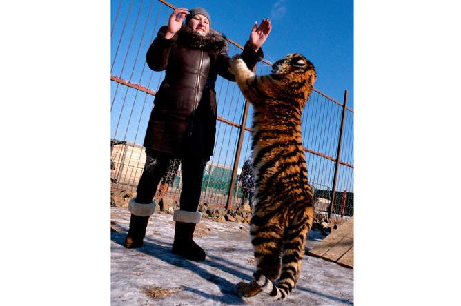 Семимесячная амурская тигрица по кличке Кристал в зоопарке «Чудесный» в селе Борисовка Приморского края