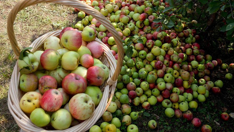 Россияне заинтересовались соковыжималками на фоне высокого урожая яблок