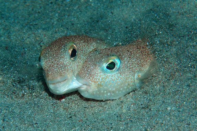 Torquigener albomaculosus — рыбы, создающие удивительные круги, впервые обнаруженные на дне Восточно-Китайского моря. Оказалось, что круги — это одноразовые гнезда, которые сооружают самцы, чтобы привлечь самку