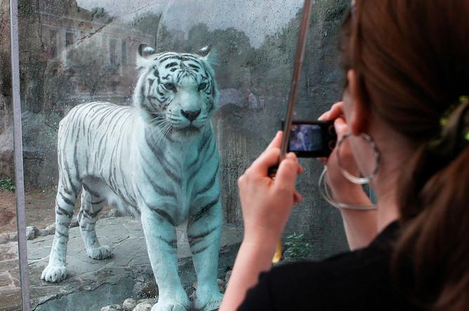 Тигрица Кали в Московском зоопарке, 2011 год