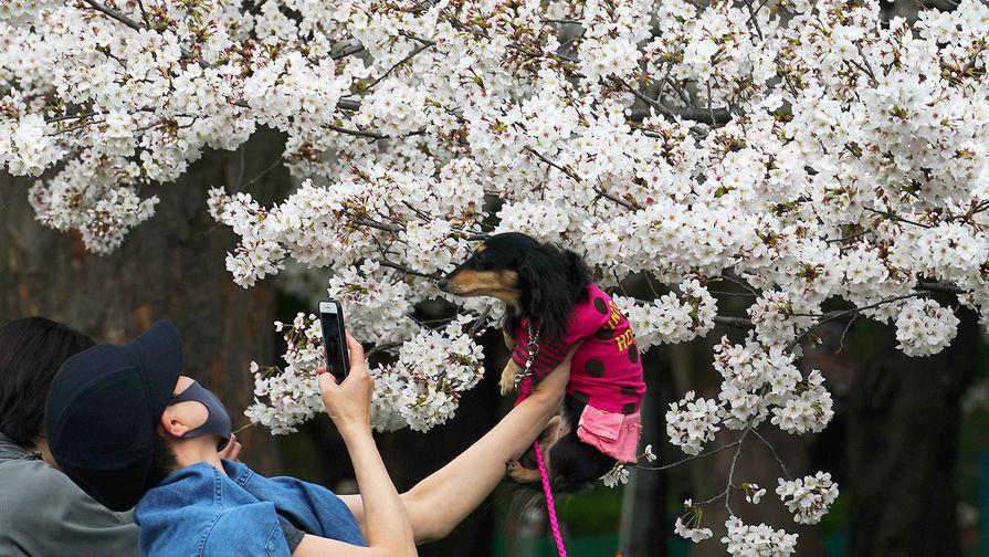 Девушка фотографирует свою собаку в парке в Токио во время цветения сакуры, март 2021 года