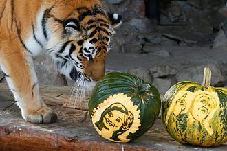 Амурский тигр Юнона в красноярском зоопарке, 7 ноября 2016 года